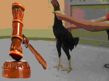 قصة القاضي والدجاجة